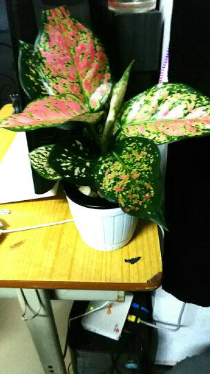 田间小径 发财树盆栽万年青花卉室内客厅观叶绿植盆景如意皇后桌面水培植物 小如意皇后 F白 复古木纹 带盆栽好 晒单图