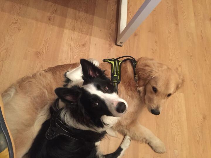 狗胸背带萨摩金毛德牧拉布拉多大型犬训练牵引 宠物用品 橙色 S 晒单图
