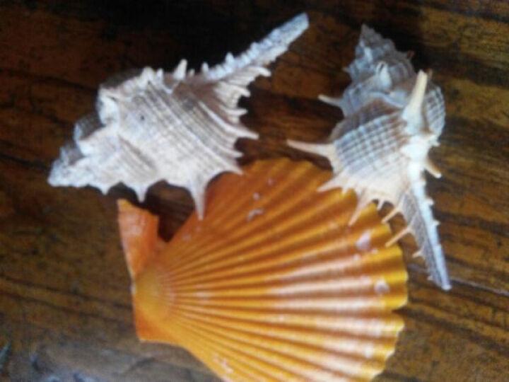 迷妆 海螺贝壳 地中海风格家居合集造景摆件 鱼缸水池装饰品 黄色大贝壳 一口价1片 晒单图