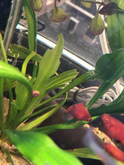 鱼缸水族箱创意生态小金鱼缸免换水塑料亚克力鱼缸小型迷你缸懒人鱼缸桌面简约草金鱼斗鱼热带鱼缸 懒人水培鱼缸15*15*26cm 晒单图