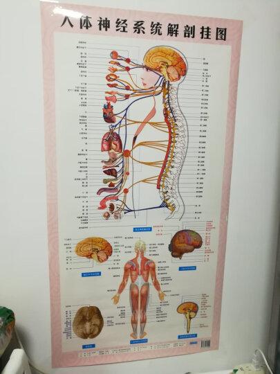 人体神经系统解剖挂图西医 晒单图