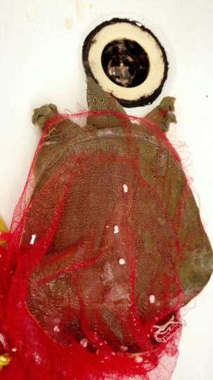 【沧州馆】 盛源绿野 黄河系中华鳖甲鱼团鱼王八鲜活1kg左右 晒单图