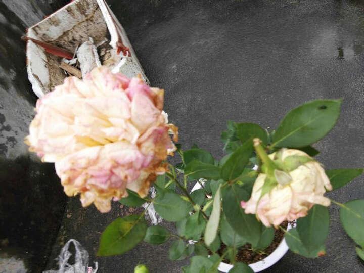 藤本月季花苗 欧洲月季花盆栽 玫瑰花苗 大花月季 品种月季 庭院植物 黄色 晒单图
