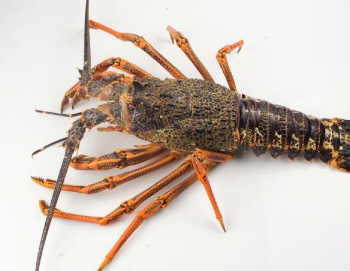 【活鲜】大渔场 澳洲进口鲜活大龙虾 澳龙 2kg/只 海鲜 晒单图