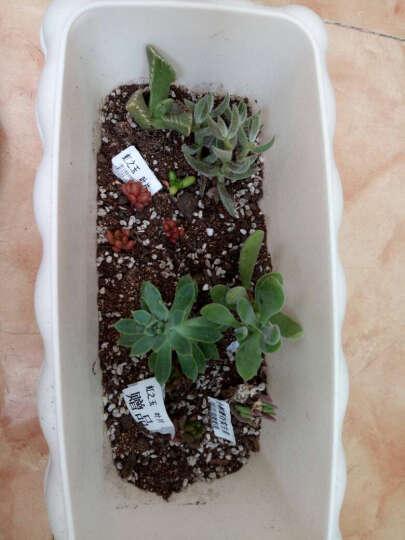 多肉植物 不含多肉花盆 多肉叶插叶片苗 多肉盆栽 叶片 树冰叶片1枚 晒单图