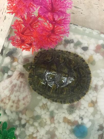 白领公社 乌龟缸 带晒台鳄龟缸巴西龟玻璃龟缸迷你鱼缸水族箱生态鱼缸小型鱼缸 50cm*30cm*30cm玻璃爬梯 晒单图