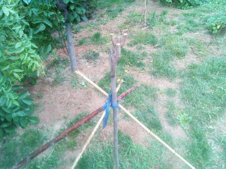柿子苗 柿子柿树树苗 脆柿子树苗 南方北方种植盆栽当年结果地栽水果 太阳柿 8年苗 晒单图