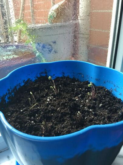 直销 出芽率高 三叶草种子幸运草 红花酢浆草种子 红花草种球 小种球 晒单图