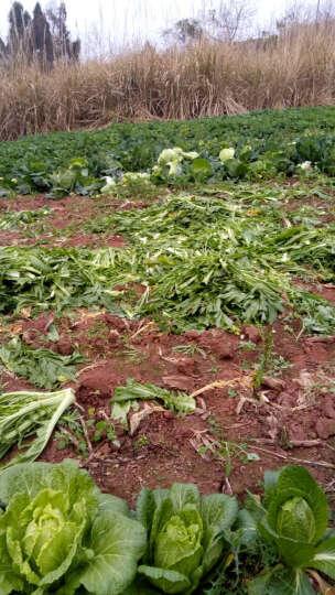 庭院盆栽 日本甜柿 阳丰树苗 脆甜柿子苗 嫁接苗当年结果 适合南方北方种植 当年结果 青柿 晒单图