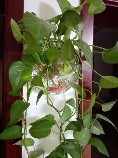 白领公社 鱼缸壁挂鱼缸家居装饰迷你壁式生态造景亚克力小鱼缸水族箱 325mm镜面 晒单图