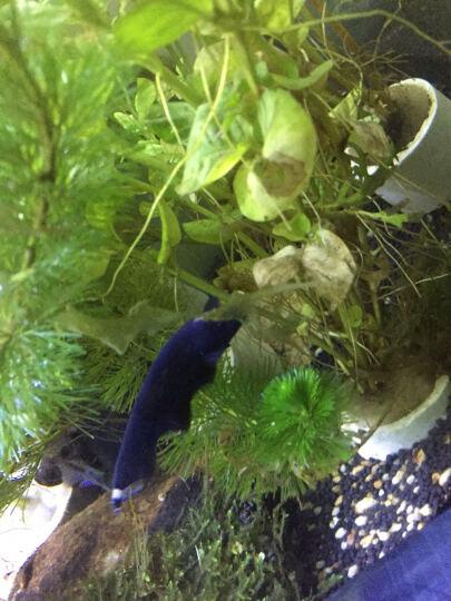 奇溢自然 鱼缸有茎类真水草造景水族箱绿菊花造景真水草 绿金钱对叶 1杯 D 晒单图