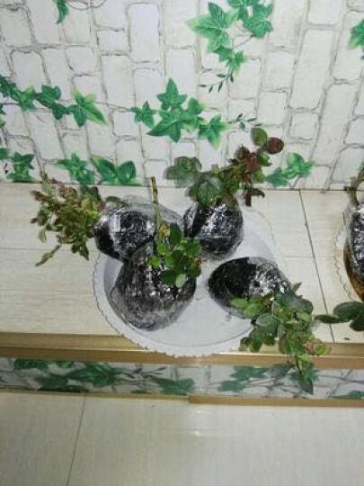 现货 京东云仓发货 农民老史 庭院植物月季花苗4年苗 台湾芒果 晒单图
