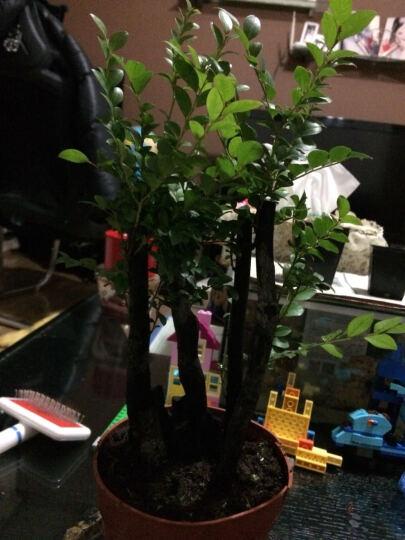 盆景植物 小叶紫檀树桩 君子兰盆栽 小叶榕树 罗汉松盆栽绿植 梅花盆景树桩 紫檀树 自选H区8-10杆造型盆景 简易盆 晒单图