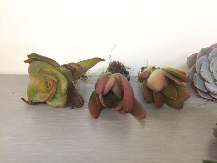 玥莹  新手多肉植物微景观景天科植物室内桌面组合盆栽植物绿色花卉盆景绿植小肉肉可批发包邮 紫珍珠 晒单图