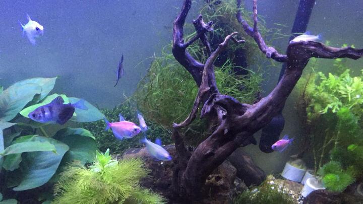 奇溢自然 鱼缸有茎类真水草造景水族箱绿菊花造景真水草 大红叶 1杯 D 晒单图