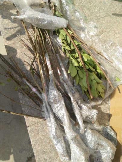 枫秀 庭院果树苗种植 猕猴桃树苗 阳台盆栽果树苗 猕猴桃苗当年结果苗 5年苗 黄金果 二年苗 晒单图