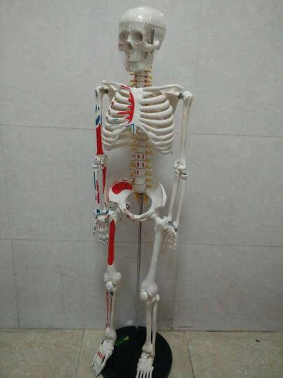 颐诺(ENOVO MEDICAL MODEL) 医用85CM人体骨骼模型脊柱型全身人体骨架教学 85CM脊神经/肌肉起止点/数字标识 晒单图