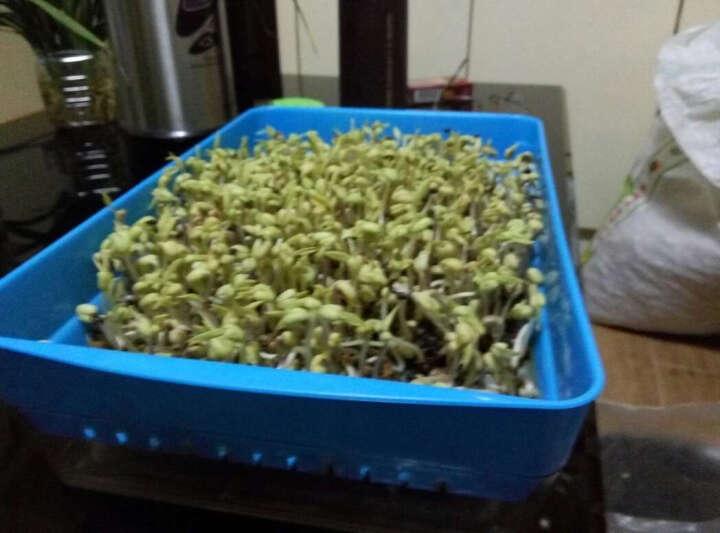 田立方 芽苗菜种植花盆 双层树脂育苗盘水培芽苗盒  休闲农业纸上种菜 大号 草绿色 晒单图