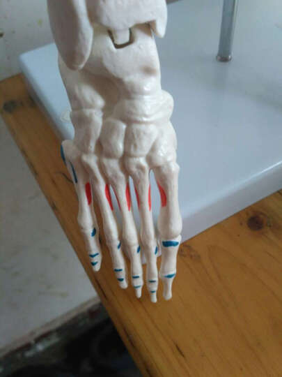 海医(Hey Model) 医用人体85cm人体骨架模型 人体骨骼模型 脊椎模型 肌肉色 022004附脊椎神经椎间盘半边肌肉起止点着色 晒单图