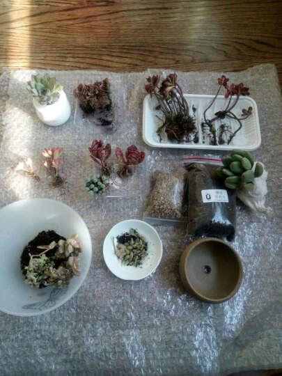 吸引力园艺 多肉植物盆栽组合套装 室内盆景花卉肉肉绿植蒂亚马库斯熊童子套餐 不 火焰景天 晒单图