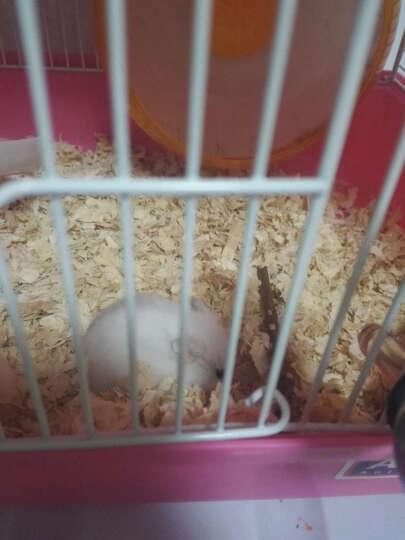 仓鼠兔子龙猫荷兰猪磨牙 苹果枝 果木 小动物磨牙棒 晒单图