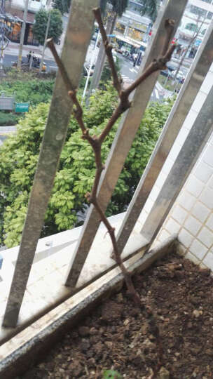 葡萄苗蓝莓火龙果无花果樱桃树苗 庭院盆栽地栽水果树苗 嫁接葡萄树苗 黑提 八年苗 晒单图