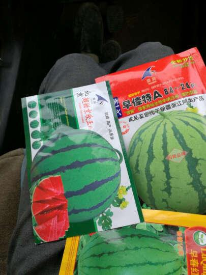 水之歌 西瓜种子 早春红玉小西瓜种子 红心小西瓜种子 单瓜3斤 200粒装 晒单图