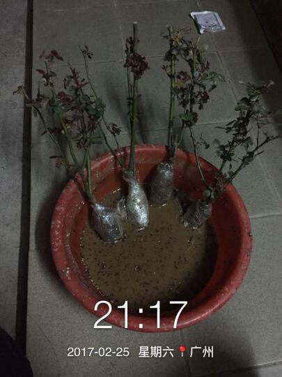 高富帅 月季苗 大花香水月季花苗 玫瑰花苗 蔷薇花苗 盆栽地栽 不含盆 却可克 中苗 晒单图