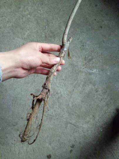 猕猴桃苗 猕猴桃树苗 果树苗 盆栽果树 水果树苗 多肉型植物果树 当年结果 不成活免费补发 意大利黄金奇异果 8年苗 晒单图