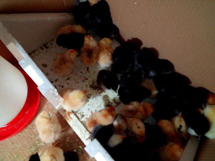 佳裕 孵化器全自动小鸡孵化机家用型鸡蛋鸟蛋孵化箱商用鸡苗鸭苗孵化盒 180枚 晒单图