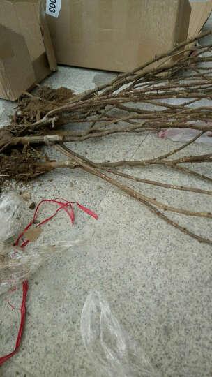 堇辰 水仙花种球球根花卉水培植物水仙办公桌面绿植盆栽家庭阳台种植 春天 单个种球 晒单图