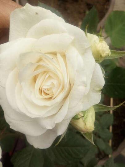 迎虞花苑月季花苗盆栽植物造型盆景 红宝石婚礼 玫瑰花苗 晒单图