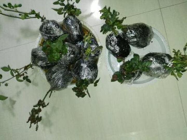 农民老史 庭院植物月季花苗4年苗 台湾芒果 晒单图