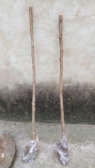 宿泽 枇杷树苗大五星白沙盆栽南方品种琵琶树苗当年结果 解放钟 5年苗 晒单图