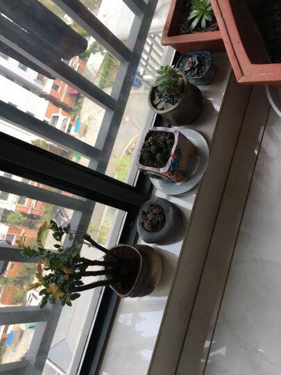 丽城花卉  小叶紫檀树桩 盆景植物花卉 盆栽办公 室内绿植黑檀树苗包邮 檀树8-10杆造型盆景 晒单图
