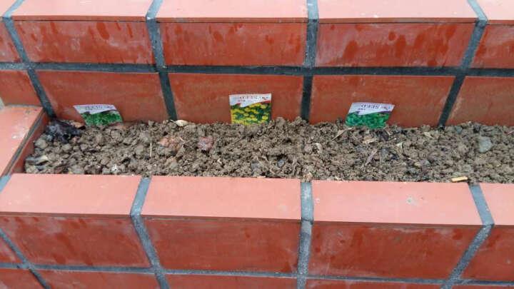 堇辰 花卉香草种子 花草盆栽种子 观花花卉种子 家庭阳台种植 桔梗50粒 彩包装 晒单图