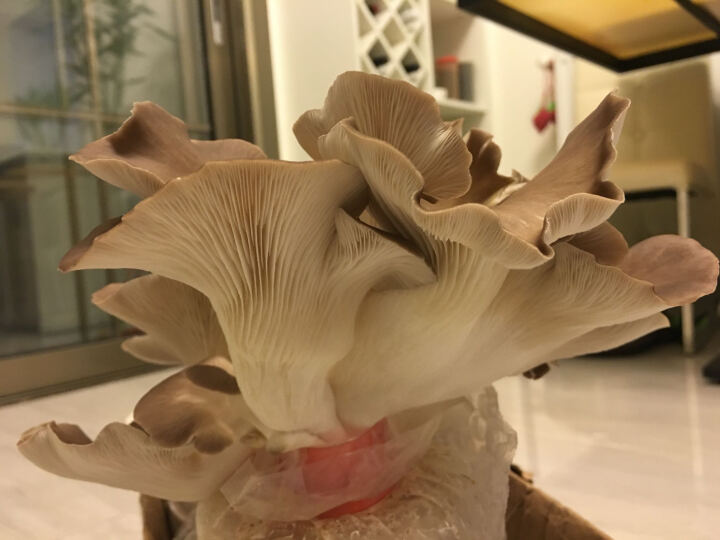 斗途园艺  食用菌棒菌种平菇种子 农产品蘑菇种植  多肉植物阳台蘑菇菌包 秀珍菇袋装 晒单图