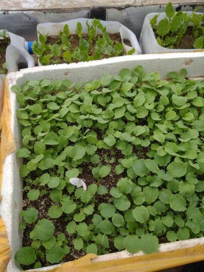 沫澄 秋季蔬菜种子套餐 阳台盆栽四季播易种菜种子 家庭菜籽包 小香葱100粒 晒单图