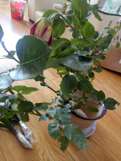 月季经典欧月大花灌木庭院四季开花绿植盆栽花卉月季玫瑰花苗 六翼天使 晒单图