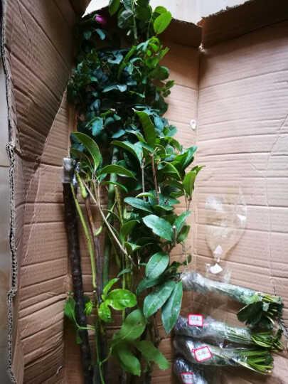 隆和园林 草莓  盆栽地栽草莓苗果树苗 阳台庭院种植 菠萝蜜草莓 1棵苗 晒单图