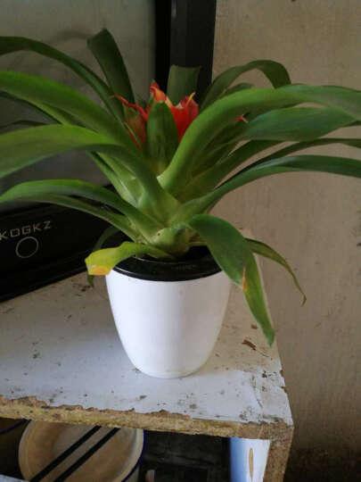 懒人24款植物 送盆送土 办公室 室内客厅 观叶植物 花卉盆栽 绿萝 水培植物 铜钱草 送盆送土 晒单图