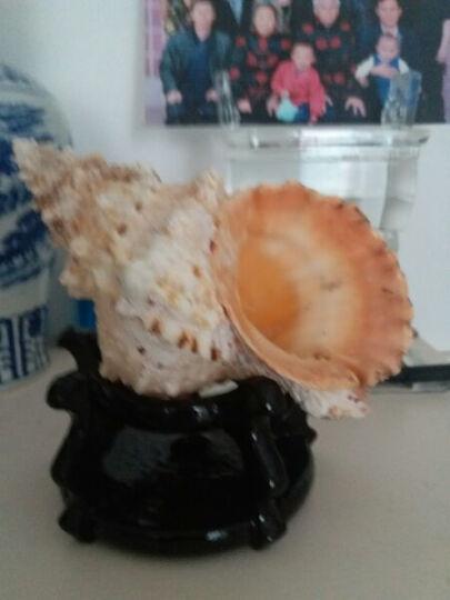 大蛙螺25-27CM石号螺/大海螺贝壳大法螺号角螺居家摆件/礼品 27-28厘米 晒单图