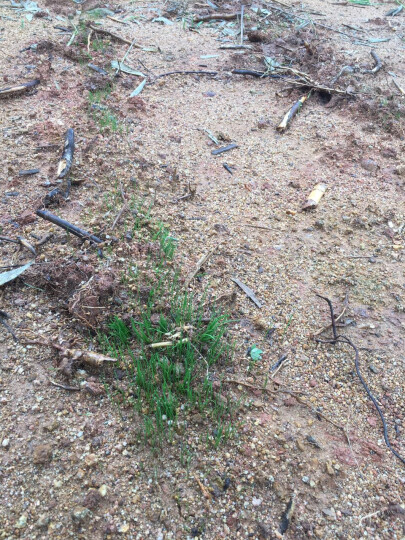 牧草种子 黑麦草种子 南方北方都适合种植 抗旱高产 多年生四季营养丰富 猪牛羊兔 品种齐全 桔梗 晒单图