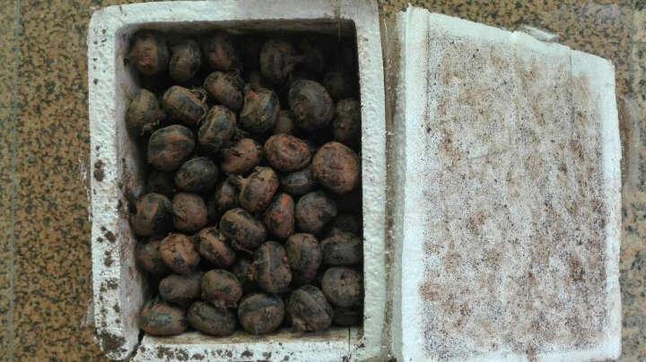 湖北新鲜马蹄荸荠 红地栗 5kg 晒单图