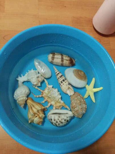 贝壳天然大海螺海星工艺品地中海摆件鱼缸装饰品套装摆件贝壳装饰品 白法螺(17-20cm) 晒单图