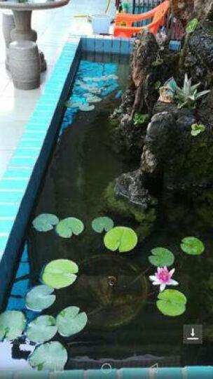 大睡莲 水培植物 迷你睡莲 四季易种 大睡莲根块水培植物水生根 睡莲种块 科罗拉多 晒单图