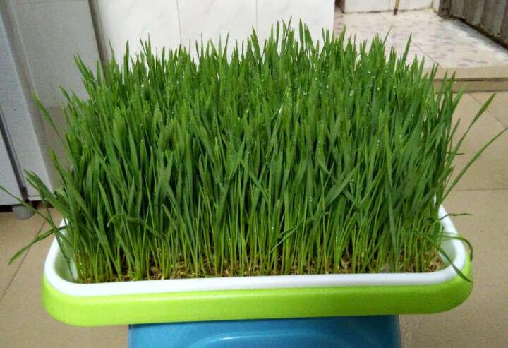 田立方 芽苗菜种子 阳台种菜 易种水培蔬菜种子 无土栽培 纸上种菜种子 花生500g 晒单图