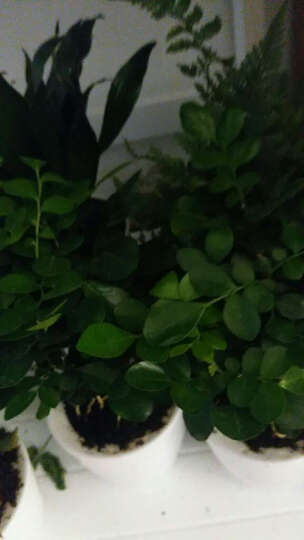 花花草草 发财树绿萝文竹盆栽花卉观花植物办公室内阳台客厅绿植栀子花蟹爪兰金钱树 栀子花带T01盆 晒单图
