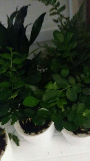 花花草草 发财树绿萝文竹盆栽花卉观花植物办公室内阳台客厅绿植栀子花蟹爪兰金钱树包邮 绿萝带灰色透明盆 晒单图