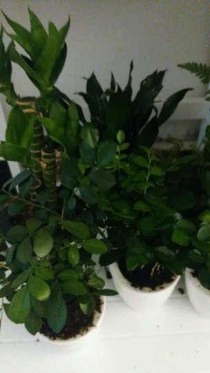 红豆(Hodo) 栀子花发财树文竹常春藤办公室内花卉四季绿植盆栽绿萝吊兰植物 带盆栽好 白掌竖纹盆中号 晒单图